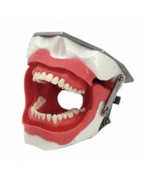 dental teeth study model
