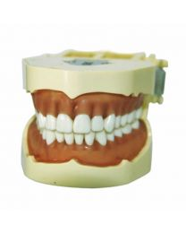 dental tooth model for school