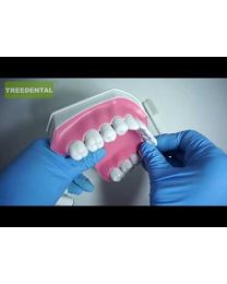 2 Times Brushing model/Dental Study/Teaching Aid  Demonstration Model Teeth + TOOTH BRUSH