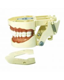 teeth model in dentistry