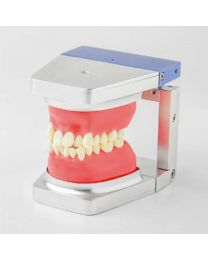 typodonts dental model
